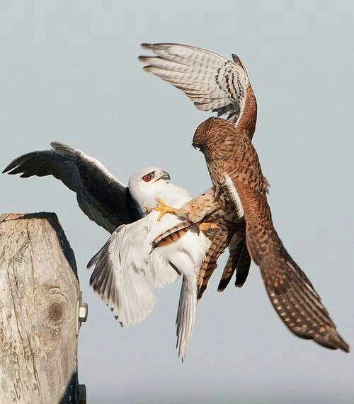 Black Shouldered Kite vs. Common Kestrel