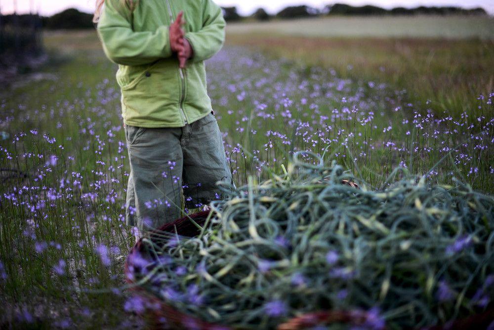 Fare Isle Blog-Harvesting Heirloom Garlic Scapes