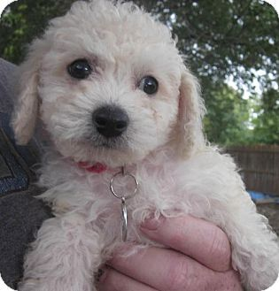 Providence Ri Poodle Miniature Meet Red Boy M 650 A Puppy