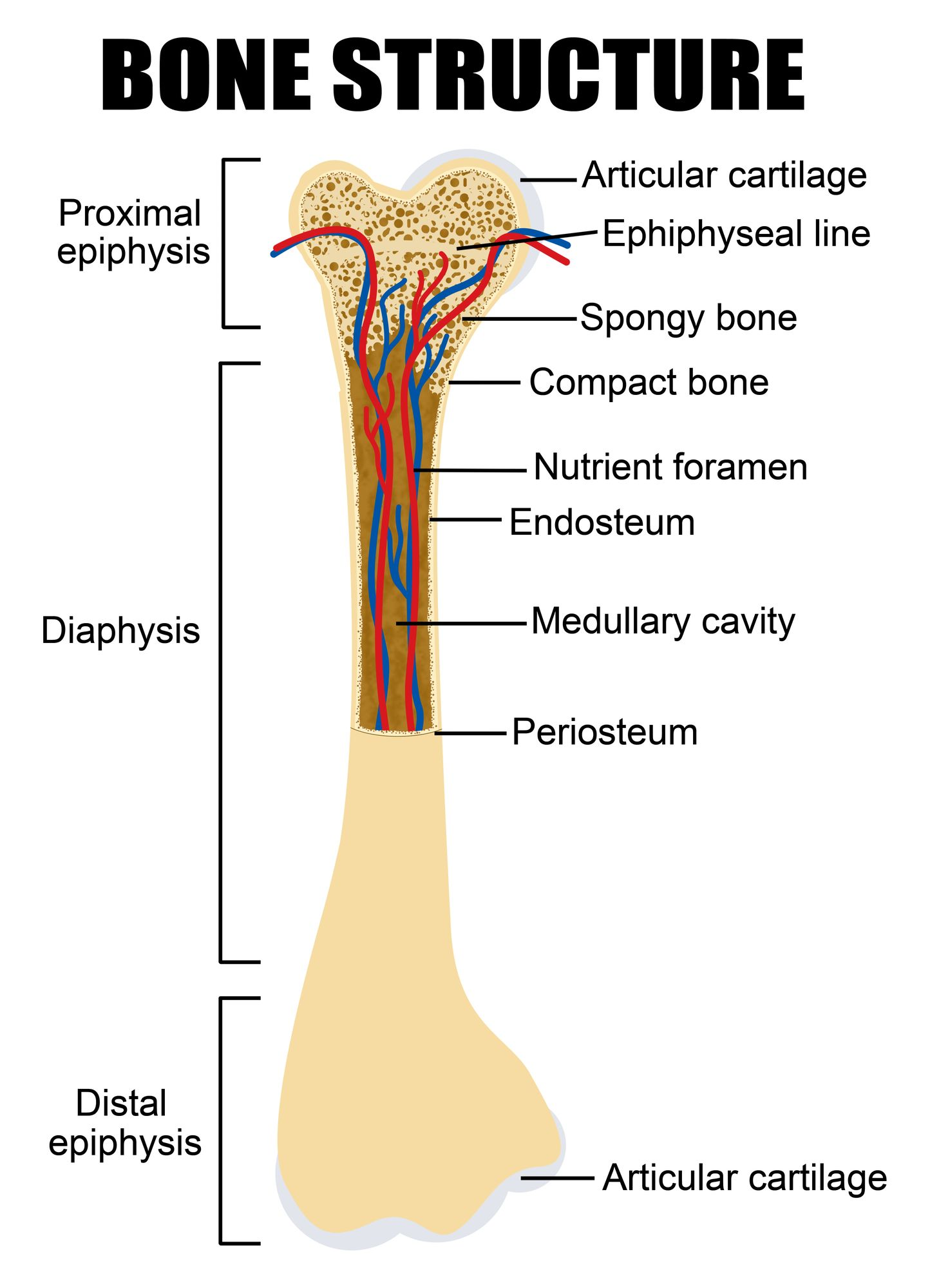 Diagram of human bone anatomy | Anatomy | Pinterest | Online courses