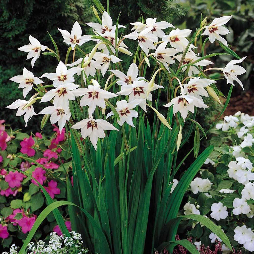 Acidanthera Bicolor Murielae Mix Pinterest Orchids Flowers