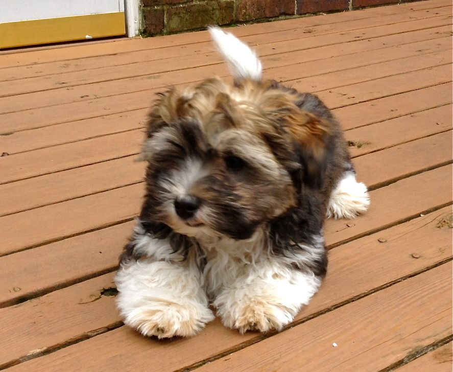 Full Grown Havanese Photos Yahoo Search Results Havanese Dogs Really Cute Puppies Havanese