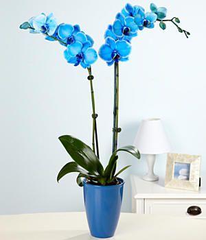 Magic Blue Orchid Orquideas Orquideas Em Eva Plantas