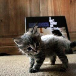 Kittenwar!