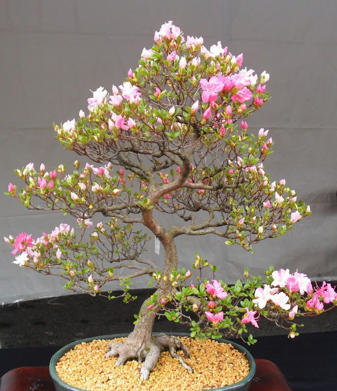 Japanese Sakura Tree Japanese Flowering Cherry Blossom Bonsai Bonsai Flower Bonsai Tree Indoor Bonsai Tree
