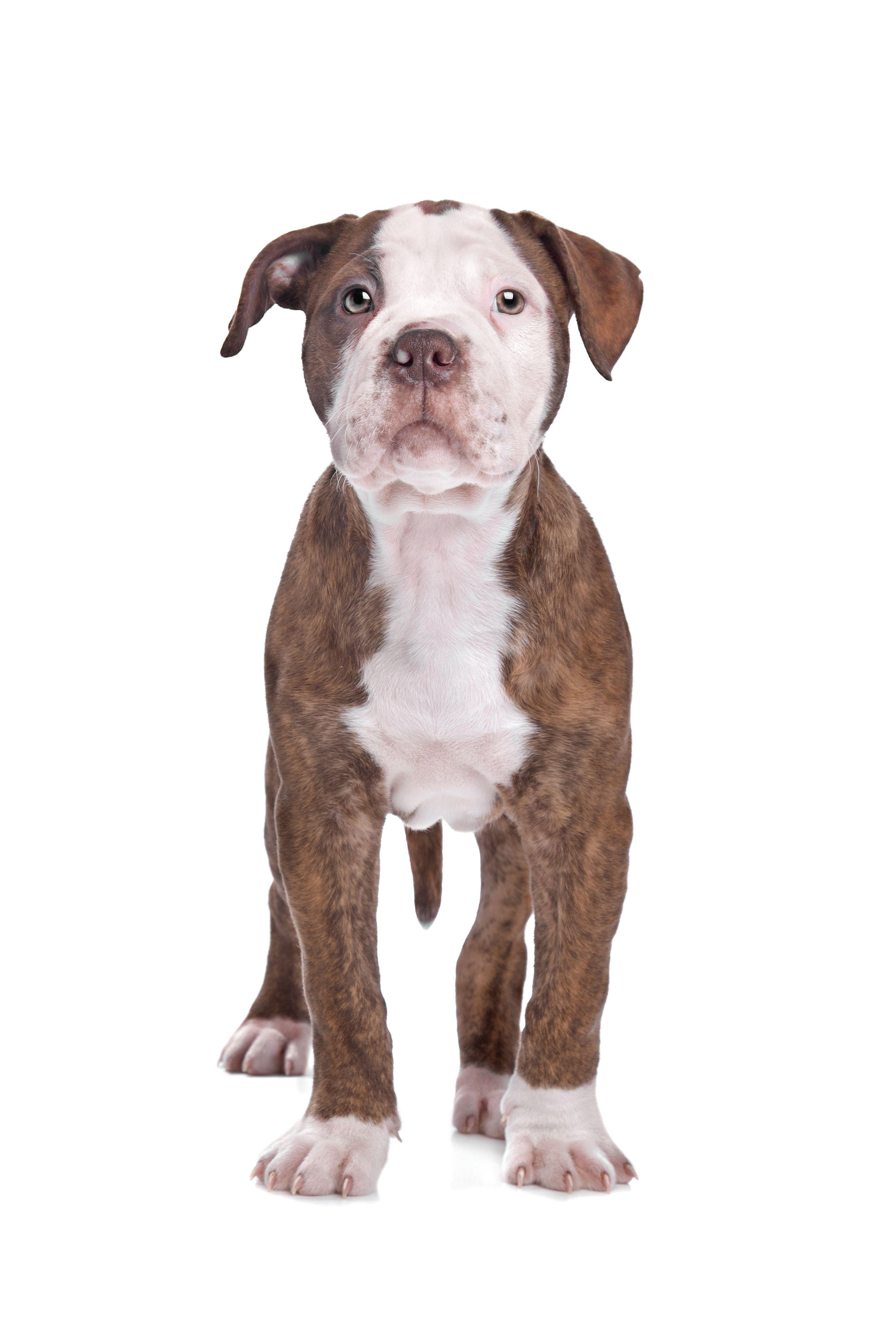 American Bulldog Nose Butter American bulldog