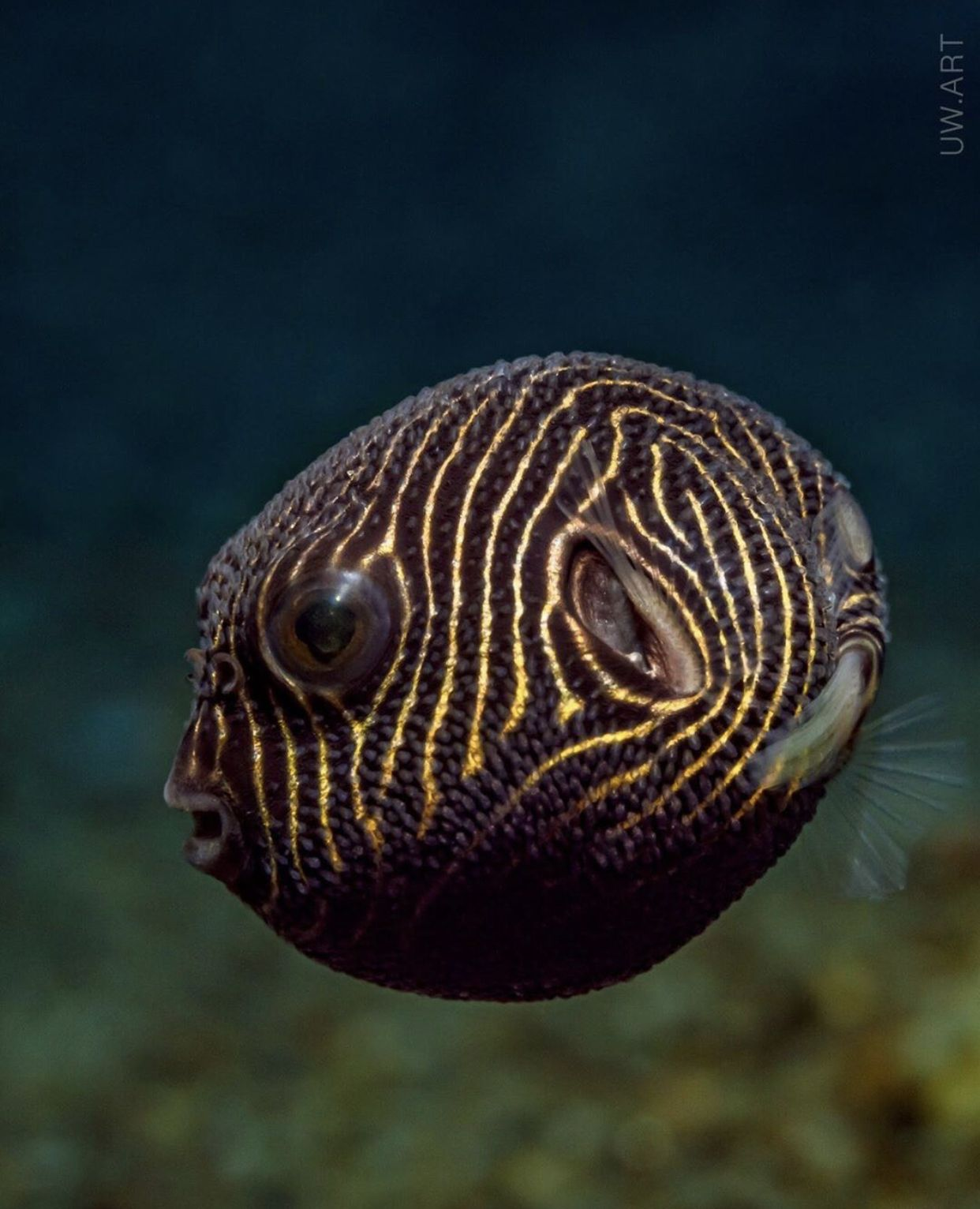 Z E B R A Did You Know The Pufferfish Star Pufferfish Aka Arothron Stellatus Can Expand Its Bo Nature Photography Animals Animal Photography Animals