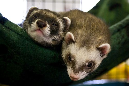 Behavior Challenges And Ferrets Coaching Tips Ferret Pets