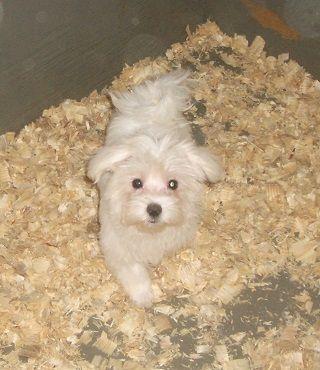 Maltese Puppy For Sale In Carrollton Ga Adn 46553 On Puppyfinder