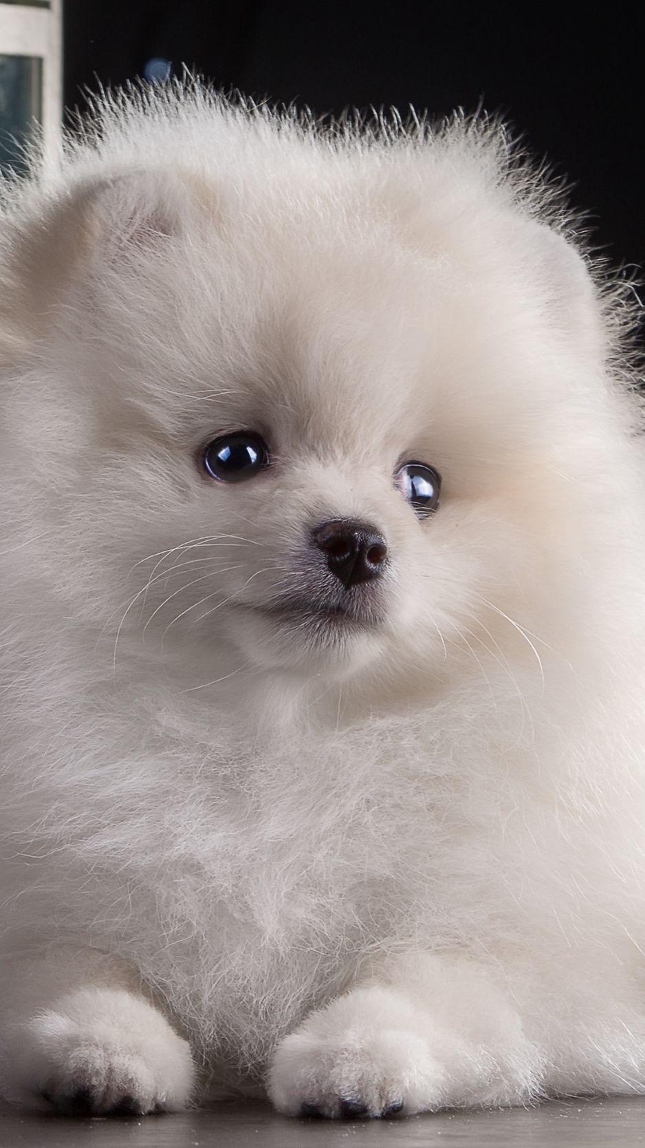 Pin By Dasha Gudim On Animals Puppies Puppy Wallpaper Iphone Dog Wallpaper Hd wallpaper pomeranian dog animal pet