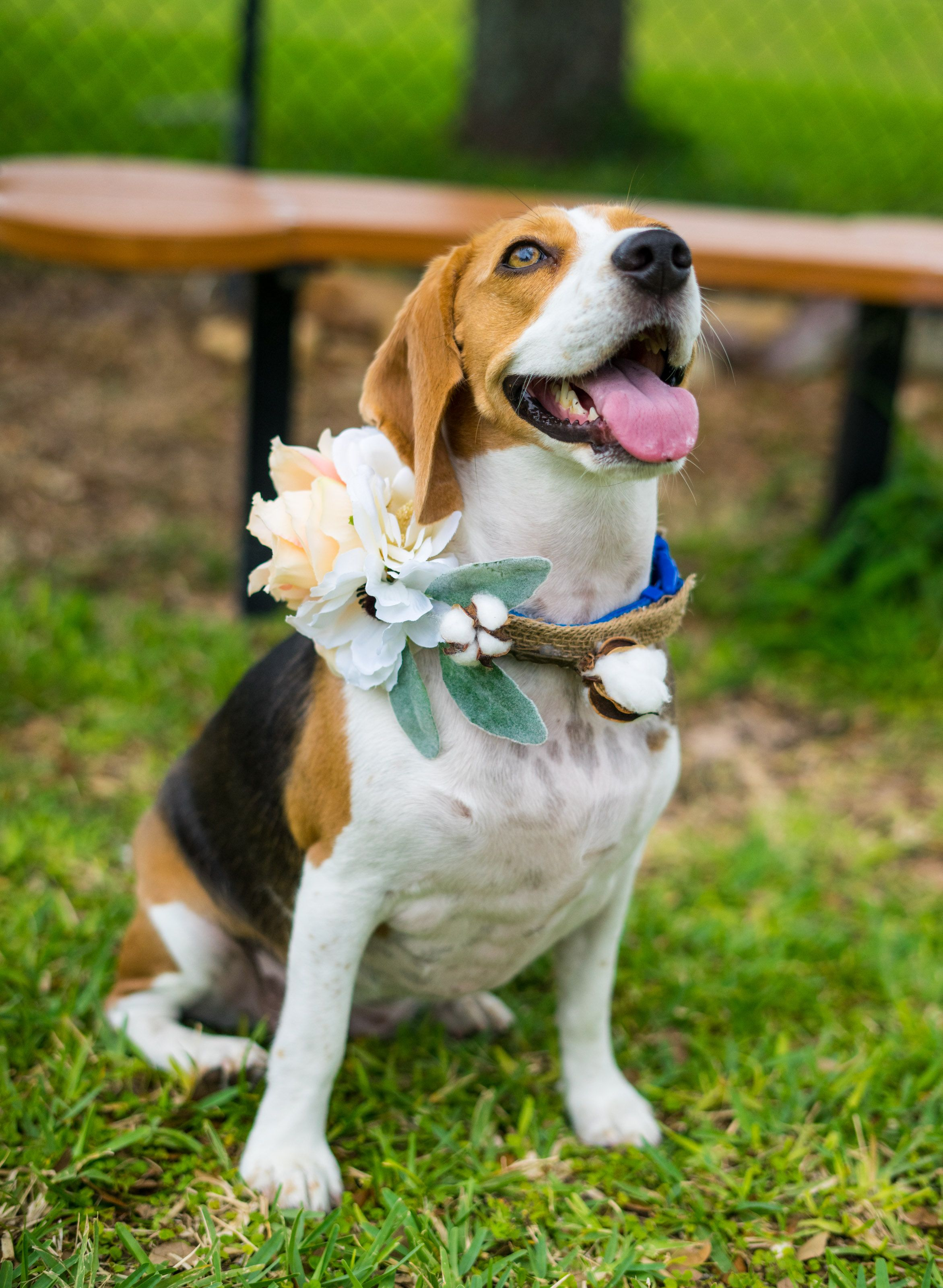 Diy Flower Collar For Any Breed Or Size Dog Beagle Dogs Puppy