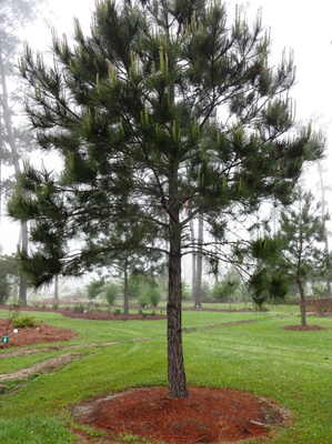 loblolly pine Trees to plant, Planting shrubs, Landscape