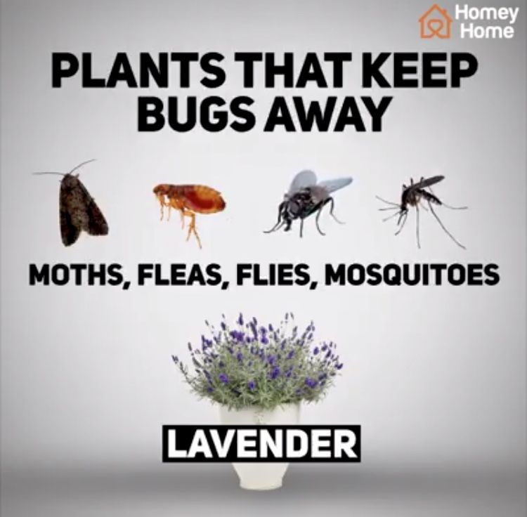 Pin by Patricia McB on Bug Bites | Keep bugs away Plants ...