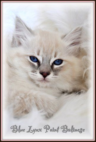 Snow Tiger Lynx Siamese Balinese Description History Tresorcats Balinese Cat Blue Point Cat Siamese Cats