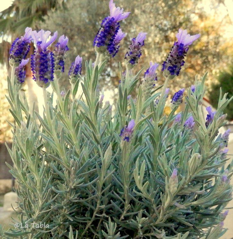 El blog de la tabla plantas jardin mediterraneo plantas for Plantas jardin mediterraneo