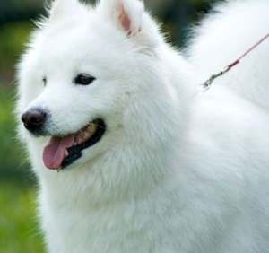 Alaskan Dog Breeds Spitz Dogs Which Might Be Best For You