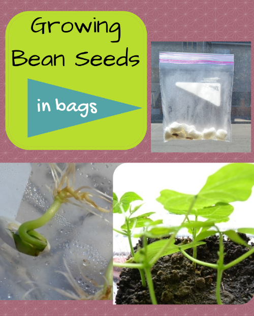 Growing bean seeds in bags   P is for Preschooler. Growing bean seeds in bags   P is for Preschooler   Science