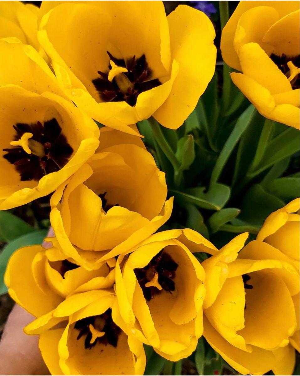 Tulip Flower In 2020 Tulips Flowers Tulips For Sale Bulk Flowers Online