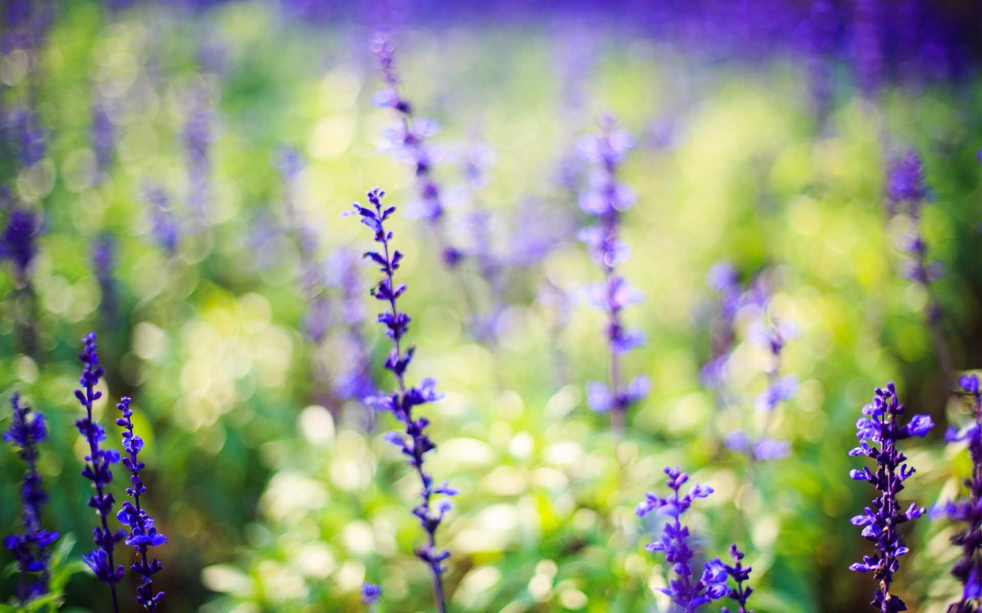 Nature Flowers Purple Lavender Pleasant Wallpaper 1920x1200 Cool Pc Wallpapers Flowers Flower Field Lavender