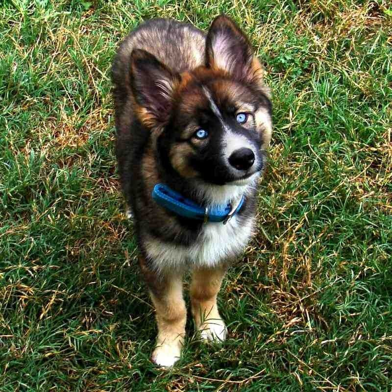 German Shepherd Border Collie Husky Mix Madun Online Border