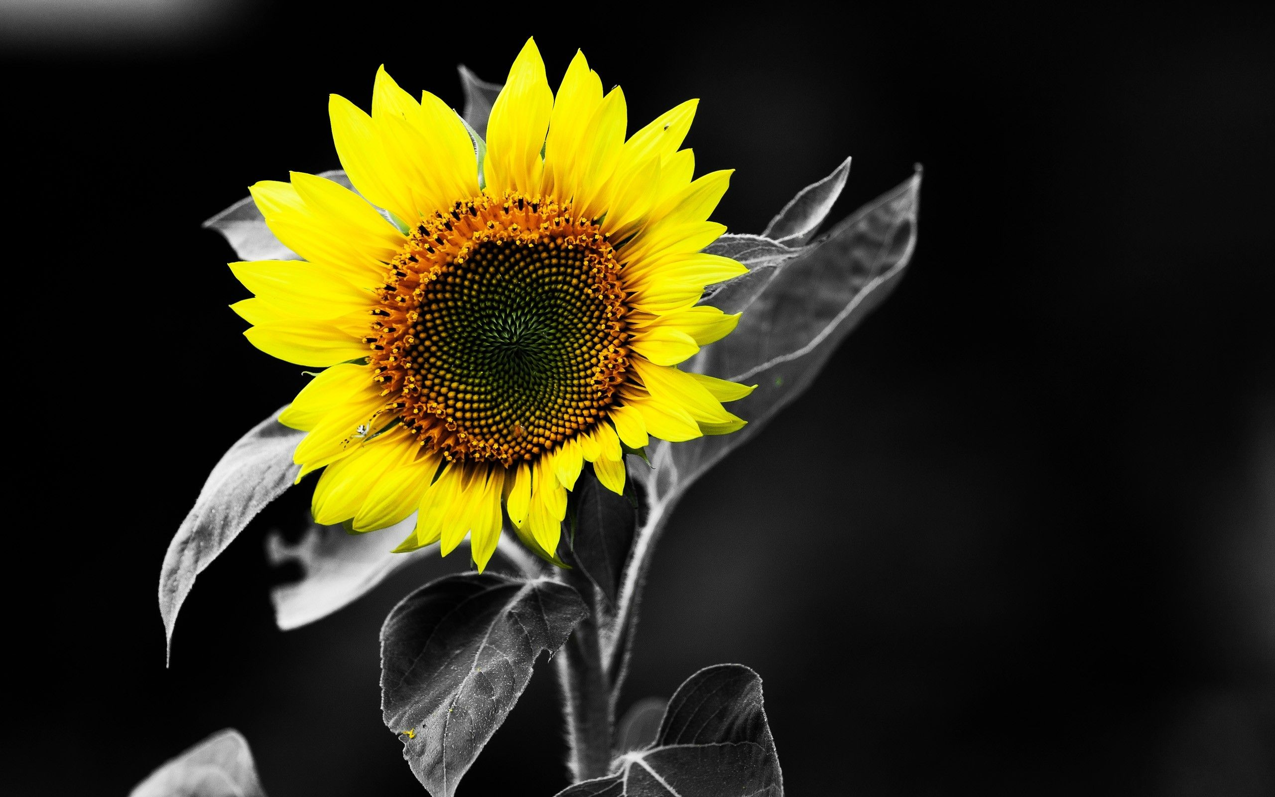 Black Sunflower Wallpaper White Sunflowers Black And White Wallpaper Sunflower Wallpaper