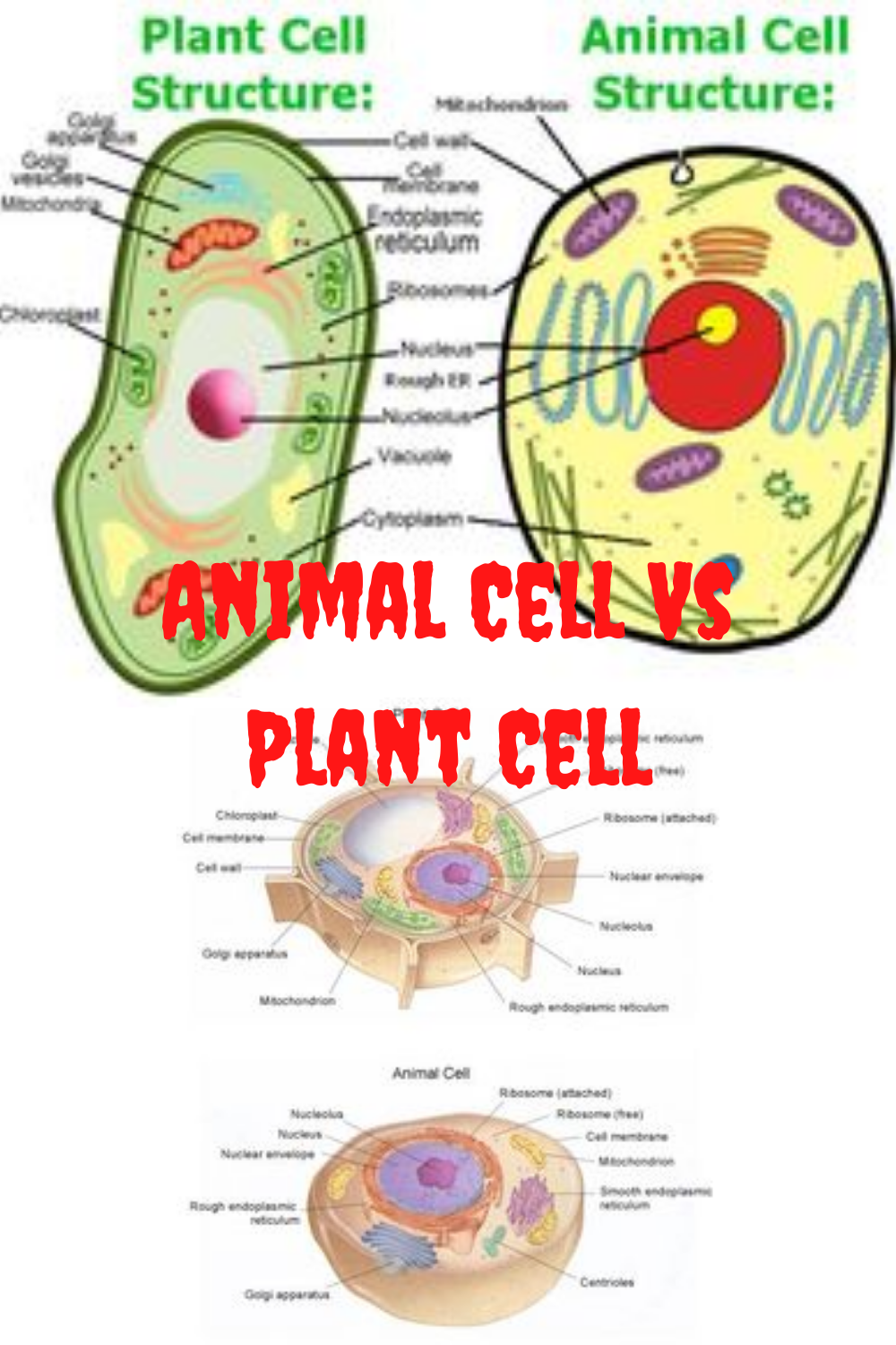 Plant Cell VS Animal Cell Diagram Pictures   Animal cell ...