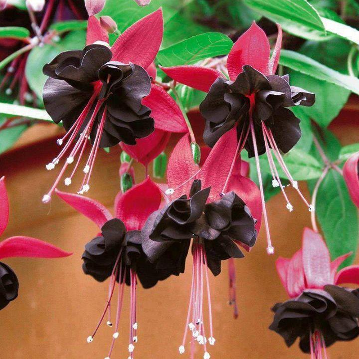 Black And Red Fuchsia Flower Blooms Fuchsia Flower Fuchsia Flowers Flower Seeds