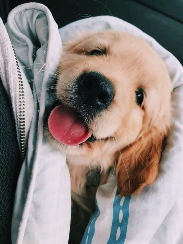 Cute golden retriever #animalesbebébonitos