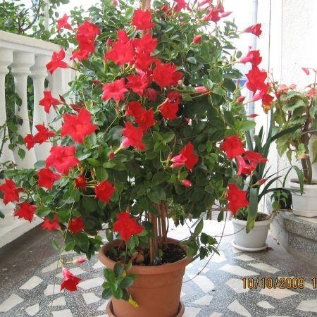 dipladenia jardin pinterest treillis plantes et balcons. Black Bedroom Furniture Sets. Home Design Ideas