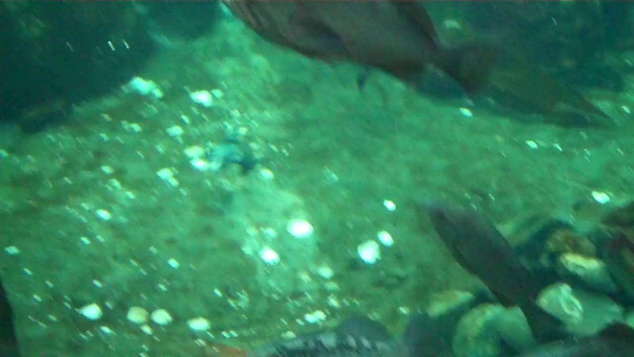 Puffins swimming in the Marine Institute in Seward, Alaska Frailecillos nadan en el Instituto Marino en Seward, Alaska