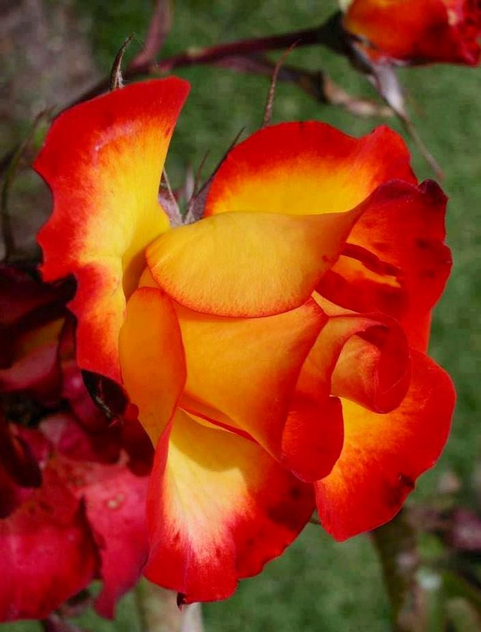 Yellow And Red Rose Via Lovely Roses Facebook Page Beautiful Flowers Beautiful Roses Rose