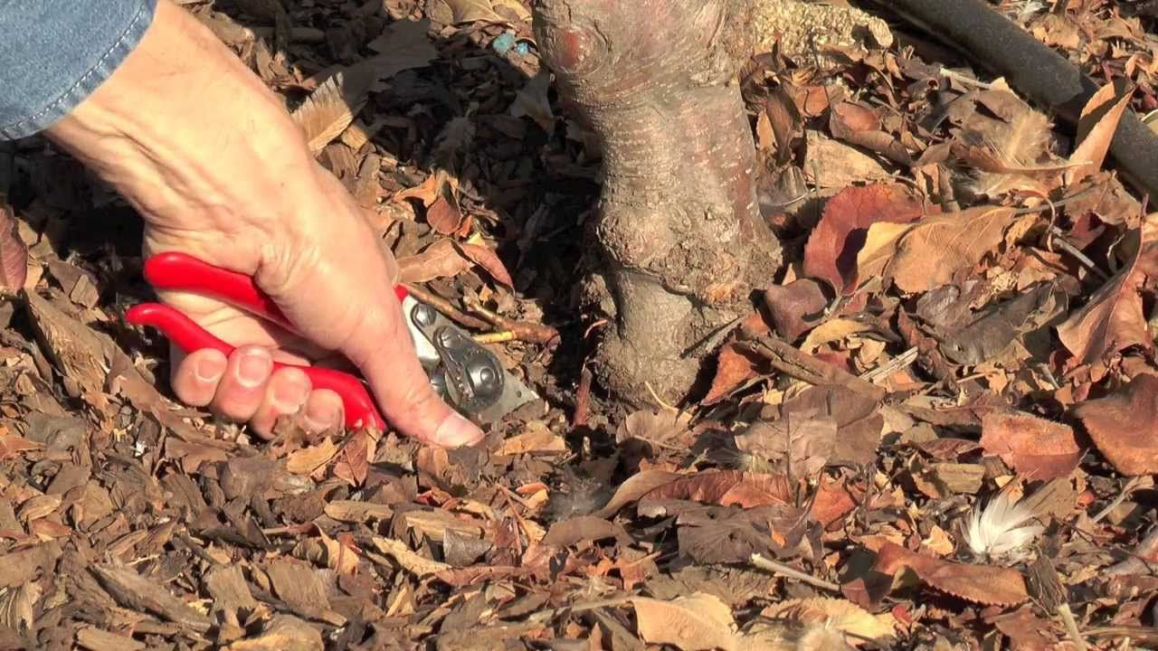 VIDEO: Winter Pruning | UC Master Gardener Videos | Pinterest | Gardens