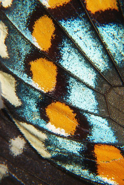 Micro of butterfly wing. Almost looks like fabric. Love the dip dye colour effect of bright colour against the black lines of separation.Contrast of orange and blue