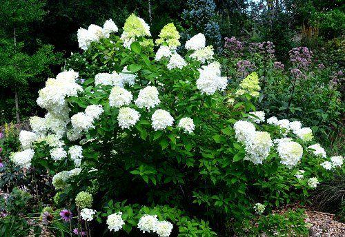 Why Hydrangeas Don T Flower Hydrangea Not Blooming Types Of Hydrangeas Limelight Hydrangea