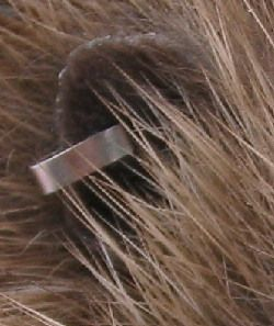 Close up of an ear tag in a hedgehogs ear