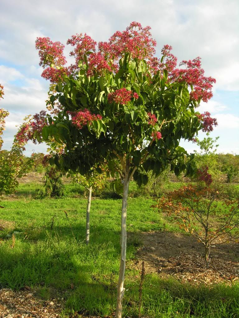 Heptacodium miconioides late fall color | BYG | Pinterest | Cacti ...