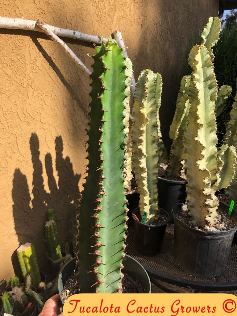 Euphorbia Ingens Candelabra Chocolate Drop 16 5 Tall Rooted Plant You Will Receive The Plant From The Pictures 1o Plants Euphorbia Cactus Plants