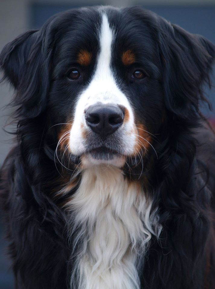 My sweet Bernese Mountain dog just 1 year old