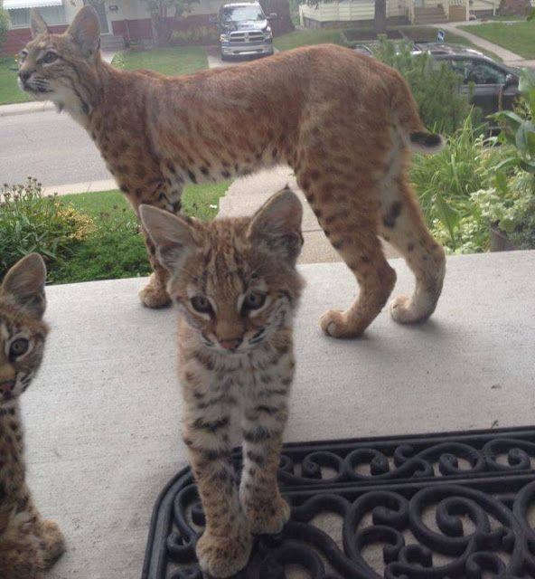 White Wolf Adorable Baby Bobcats Make Surprise Visit To Calgary Home Baby Bobcat Kittens Kitten Surprise