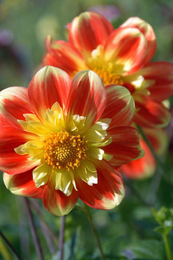 Dahlia 'Pooh' is particularly charming with its bright orange-red petals adorned with a ring of small ruffled golden petals at their heart.