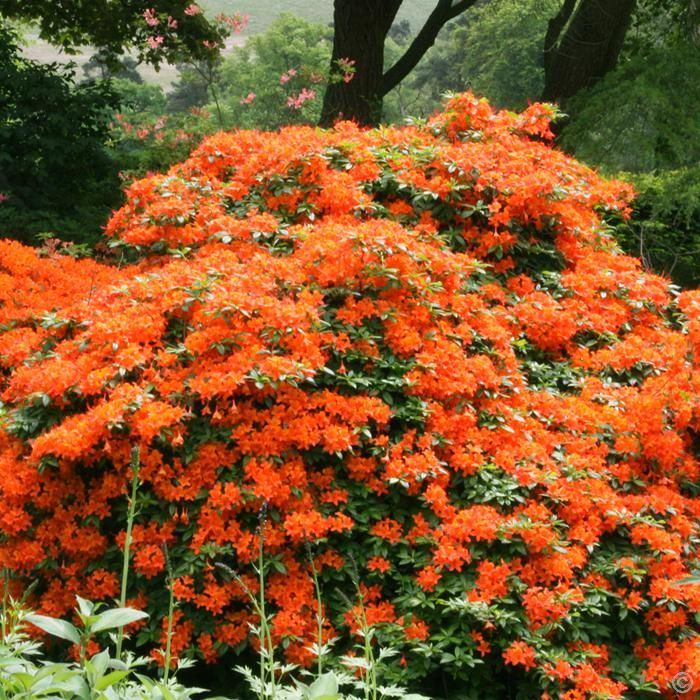 Azalea Mollis Orange 1 Shrub Buy Online Order Yours Now Garden Shrubs Orange Plant Flowering Bushes