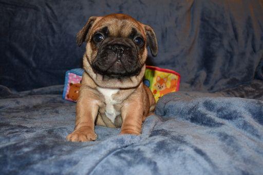 French Bulldog Puppy For Sale In Sacramento Ca Adn 36689 On