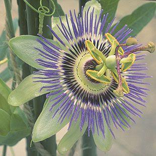Blue Passion Flower Passiflora Caerulea Passion Flower Blue Passion Flower