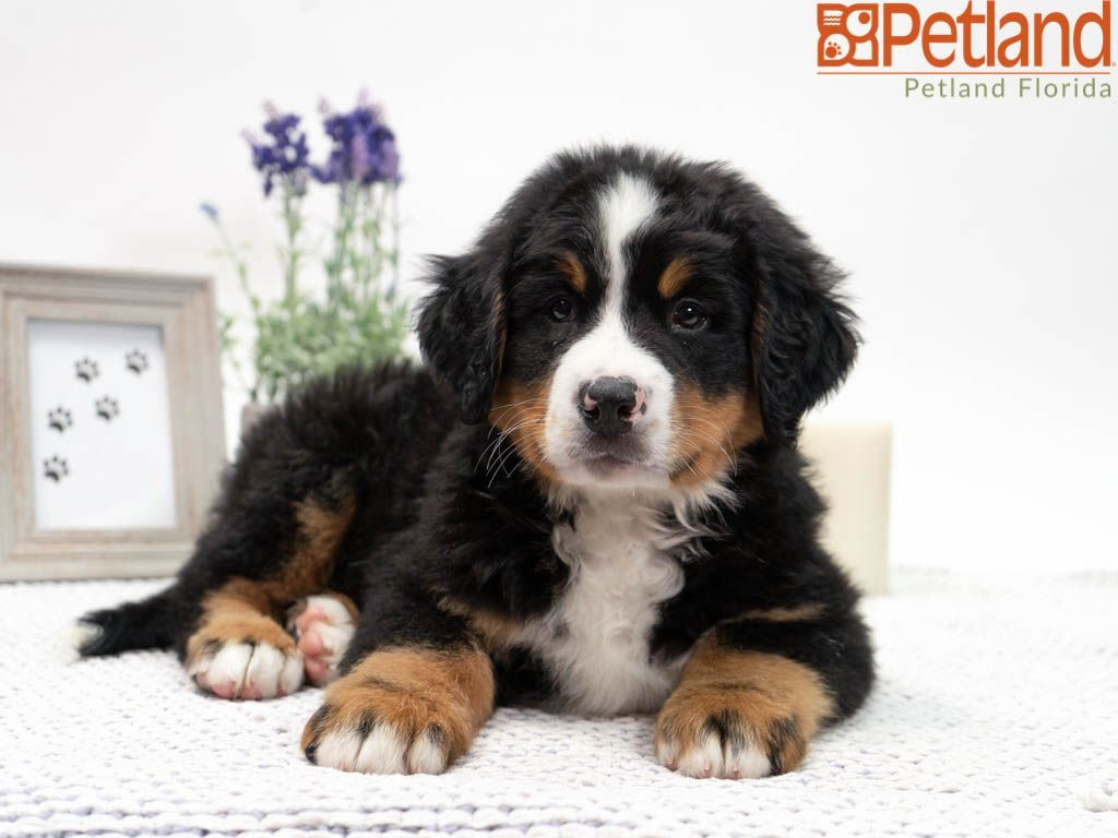 Puppies For Sale With Images Puppy Friends Puppies Dog Lovers