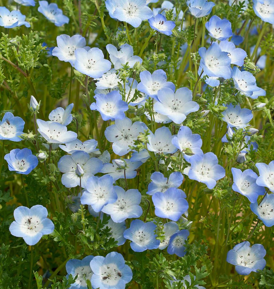 Pretty Blue Flowers With A White Eye Adorn This Low Growing Annual