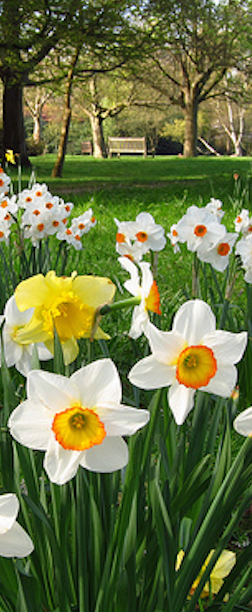 Daffodil Planting Guide Bulb Care Daylilies In Australia