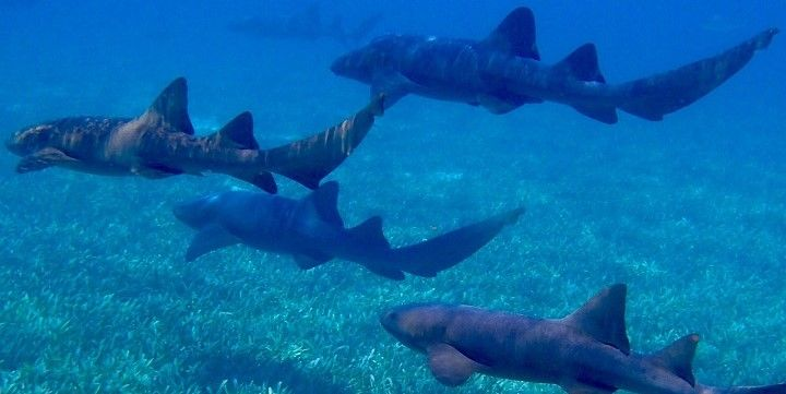 Sharks, Trinidad and Tobago