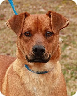 Rochester Ny Shepherd Unknown Type Labrador Retriever Mix Meet Valentio Great With Kids 350 A Dog For Dog Adoption Labrador Retriever Mix Pet Adoption