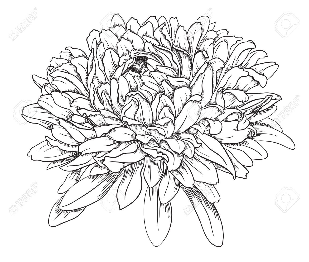 Peony flower isolated on white stock vector 368014568 shutterstock - Ink