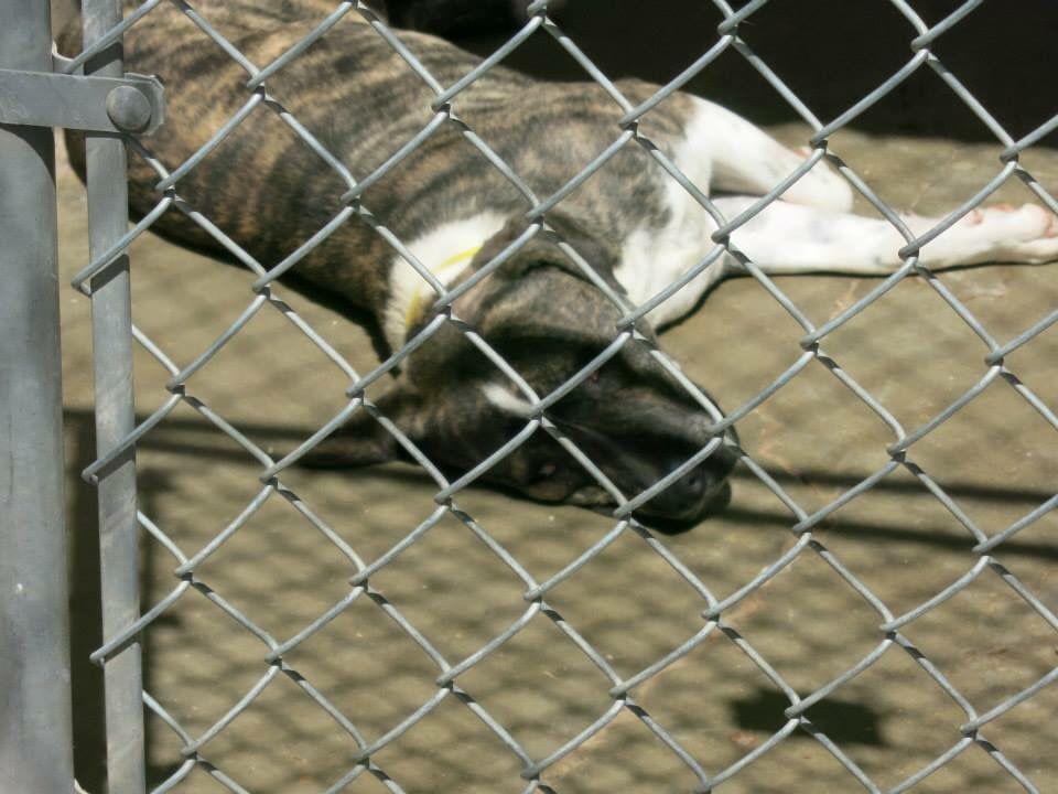 Urgent Founddog 4 2 15 Foster Needed Amarillo Tx Akita 806 373